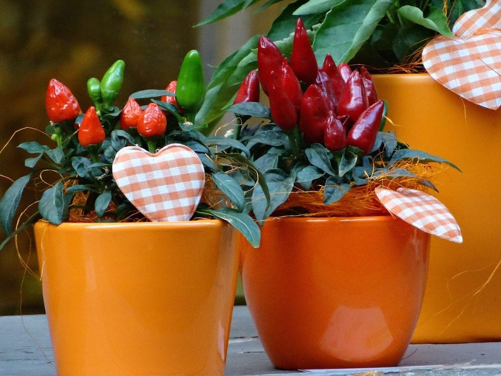 peperoncino in vaso
