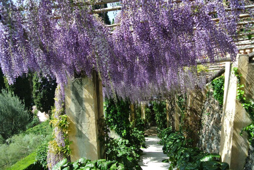 Glicini ai Giardini di Villa Pergola Alassio
