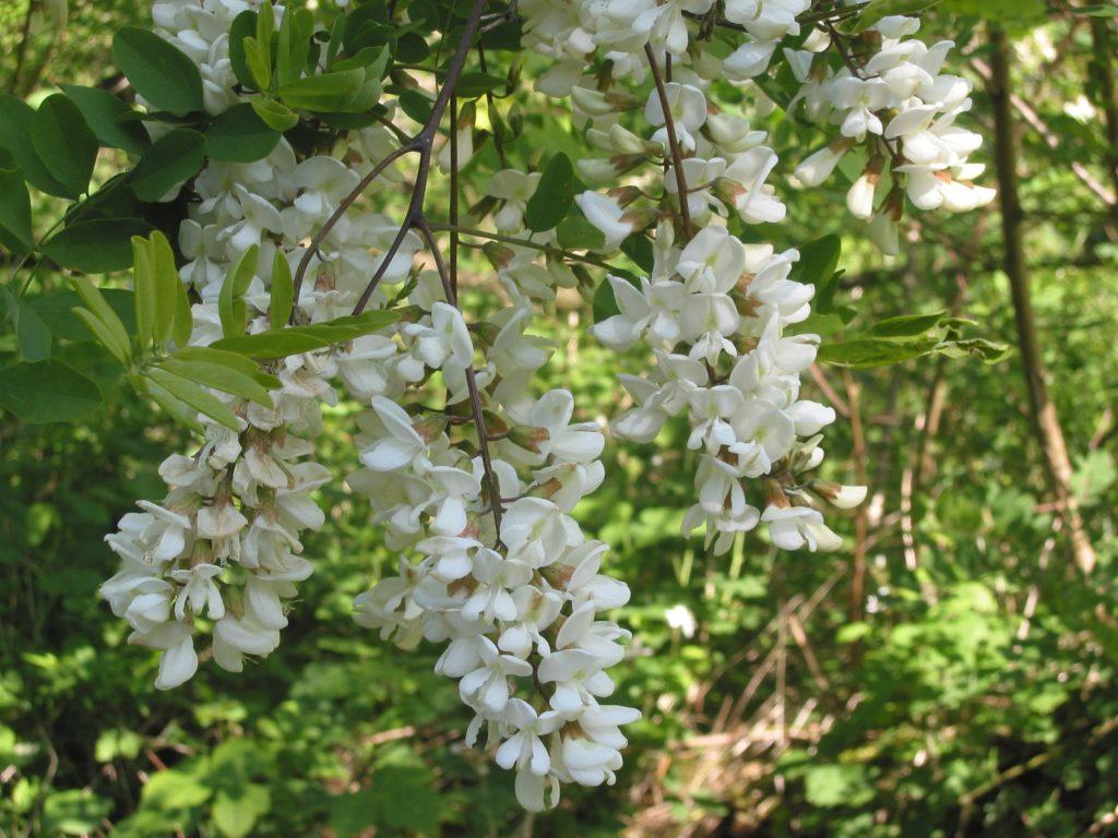 La Robinia pseudoacacia, con cui si produce il miele varesino Dop