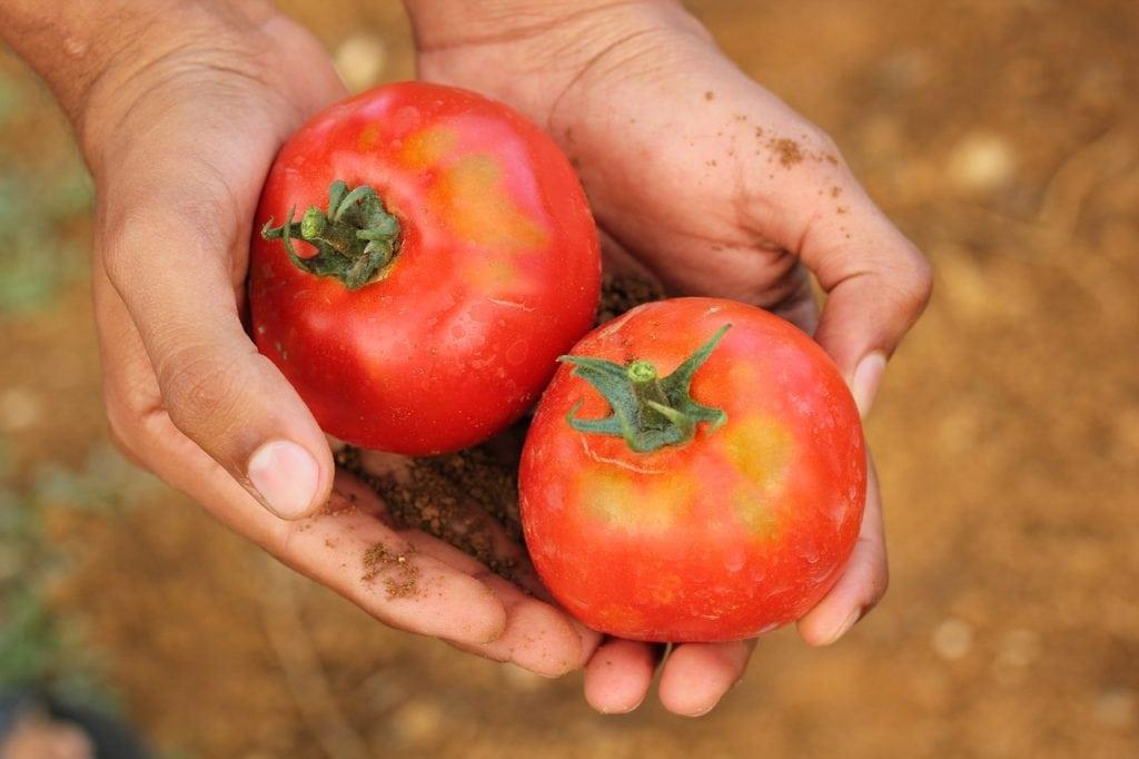 pomodori agricoltura
