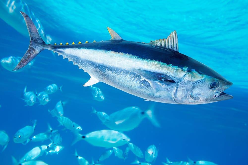 tonno rosso - bluefin tuna