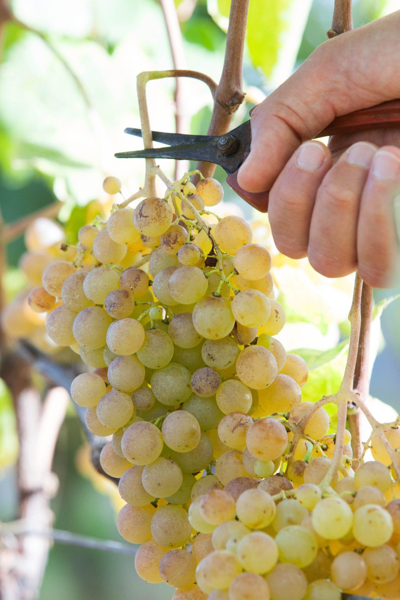 Gavi, vendemmia di uva Cortese © Cristian Castelnuovo