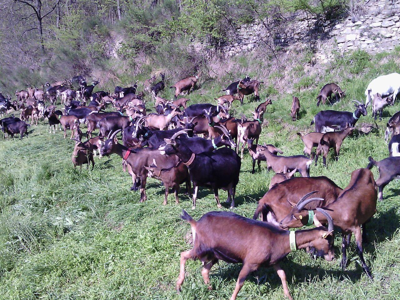 Nel disciplinare della Robiola Dop, è evidenziato l' obbligo del pascolo su terreni aperti per gli animali. Ogni pascolo disponibile per un preciso numero di capi. E solo razze autoctone.