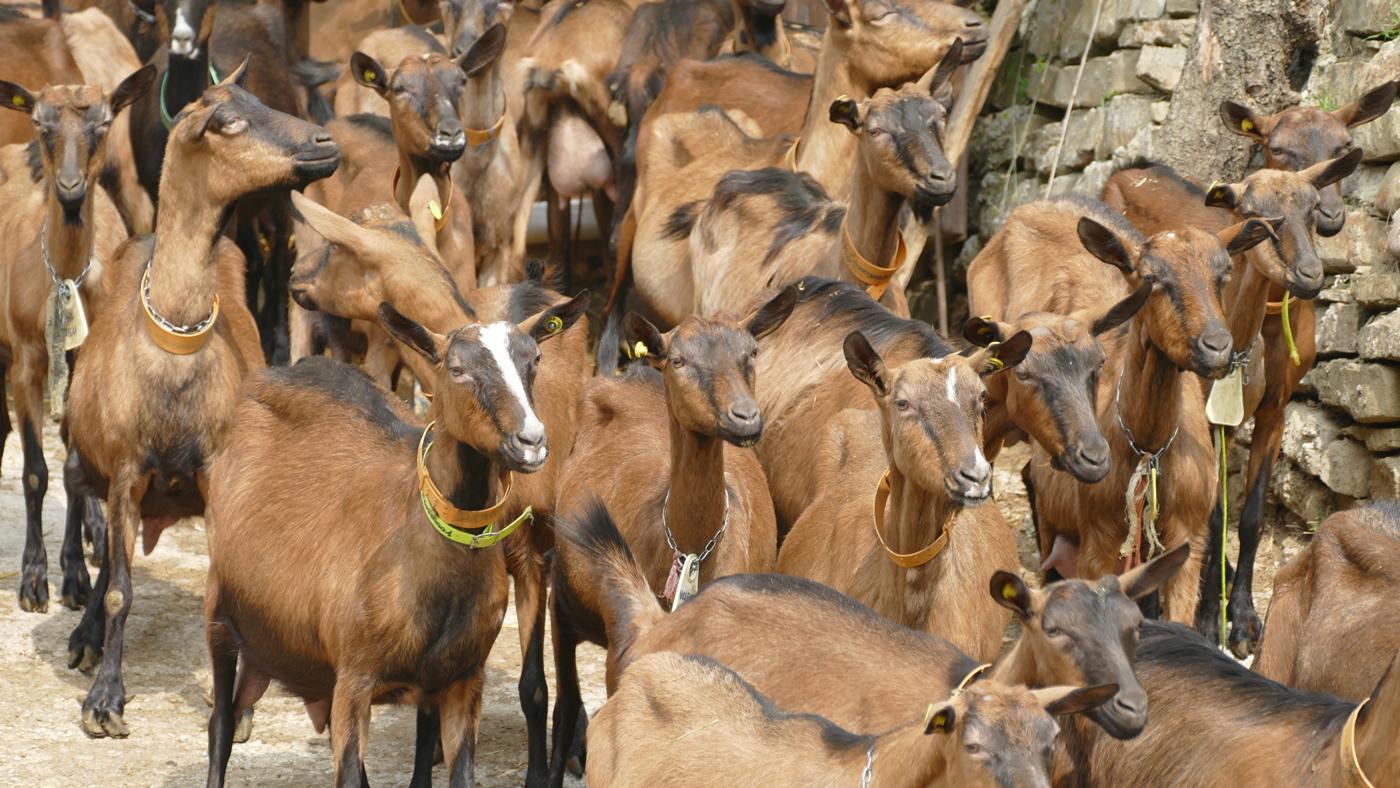 Le capre camosciate: solo con razze autoctone si produce il famoso formaggio