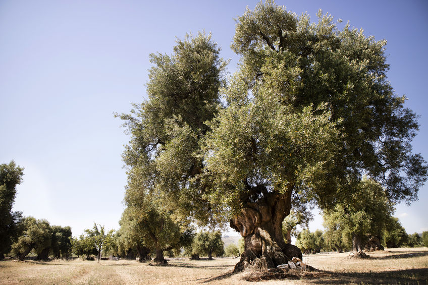 ulivi-siciliani