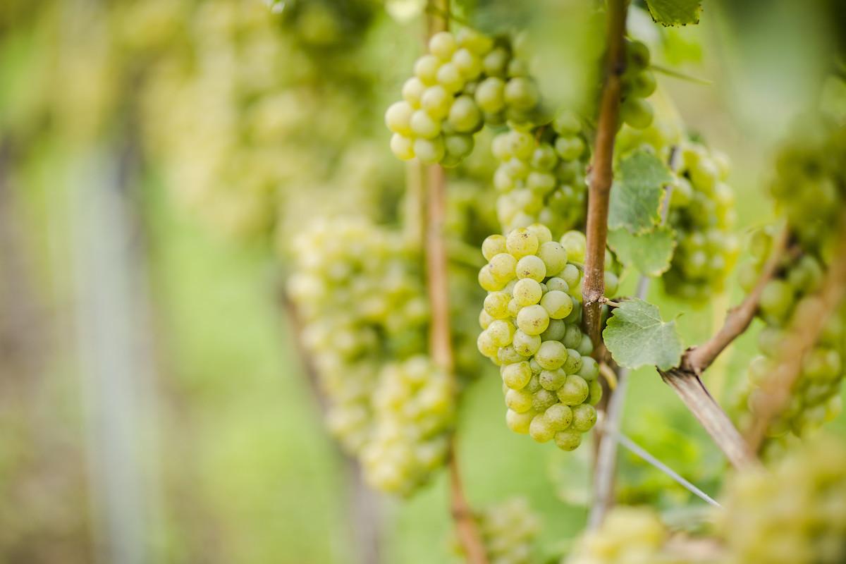 vini bianchi dell'alto adige
