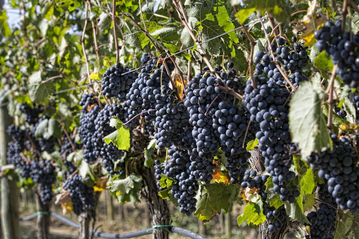 montecucco vino