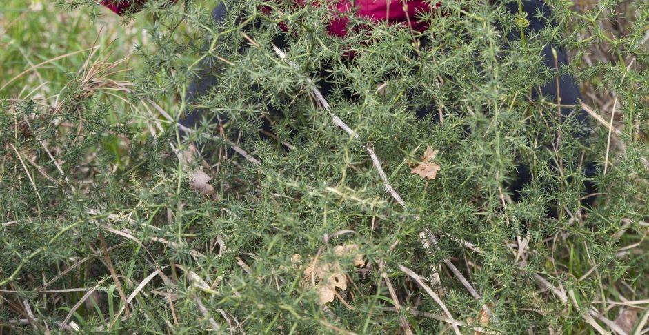 pianta-asparagi-selvatic