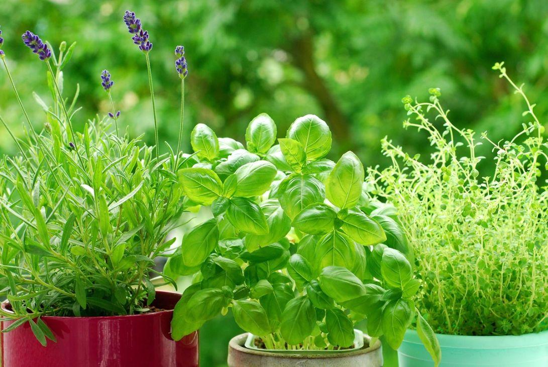 erbe-aromatiche-in-vaso