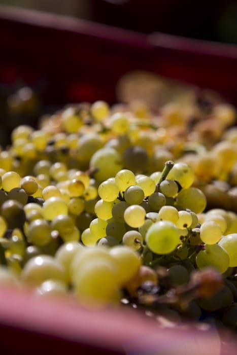 vini bianchi etna