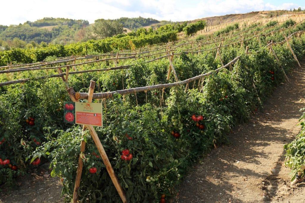 campo di pomodori