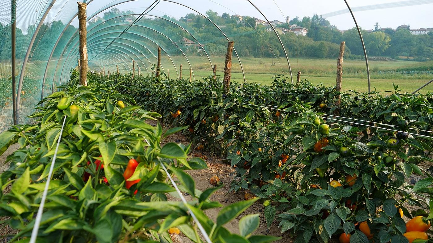 coltivazione peperone di capriglio